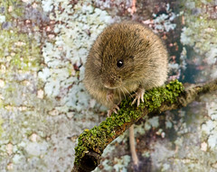 Field vole photo by Linz27