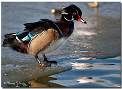 Wood Duck photo by Betty Vlasiu