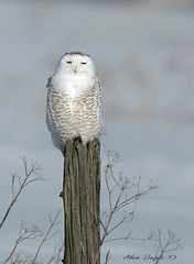 Harfang des neiges \ Snowy Owl photo by Alain Daigle