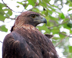 Golden Eagle photo by njchow82