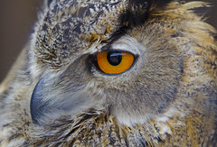 Eurasian Owl photo by malkv (200,000+ Views Thanks)