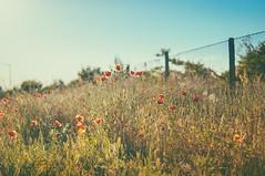 Happy Poppies Fence Friday photo by jennydasdesign