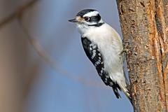 Downy Woodpecker photo by Brian E Kushner