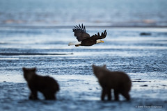 The Eagle Versus the Bears? photo by fotosbyterry