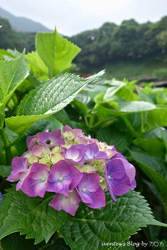 04_台北陽明山竹子湖大梯田繡球花海