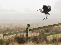 Heron Flight photo by DickieK