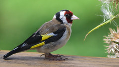 "Goldfinch "" Carduelis carduelis"" photo by Kay Musk"