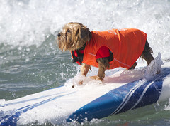 Proud surfer dog photo by San Diego Shooter