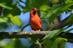 Male Cardinal photo by thoeflich