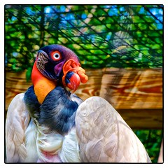 King Vulture photo by Timothy Valentine