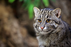Fishing cat portrait photo by generalstussner