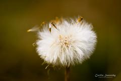 Dandelion photo by nemi1968