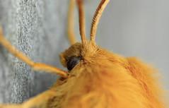 Oak Eggar face macro - Day 37 100DaysOfNature photo by riggy-riggo
