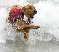 Golden Retriever fighting through a wave photo by San Diego Shooter
