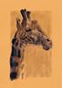 Brou de noix Girafe