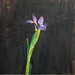 Japanese Iris, Oil on linen, 40x40cm