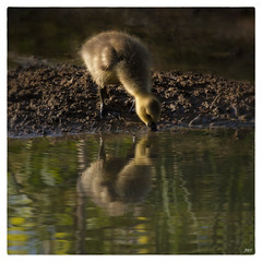 Gosling Drinking with Reflection © photo by jeanne.marie.