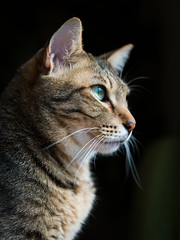 Portrait of a tabby cat photo by rampx