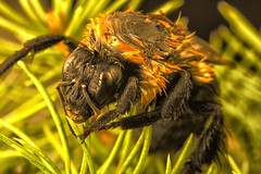 Wet Bombus in Pine photo by MedicineMan4040