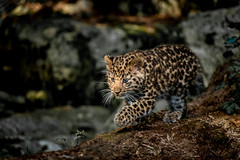 Leopard Cub In The Light photo by Old-Man-George