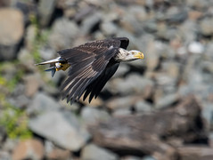 Bald Eagle photo by snooker2009