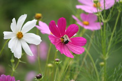 Cosmos and Bee photo by eyriel