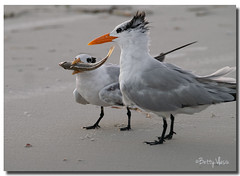 Hungry Baby Royal Tern With Mother photo by Betty Vlasiu