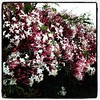 Jasmine flowering 365/232 #2014PAD