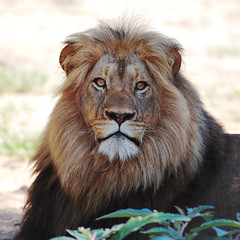 World Lion Day - 10 August 2014 photo by AnyMotion