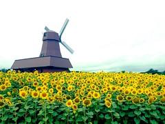 sunflowers photo by Sasakei