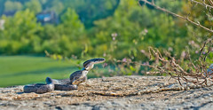 Baby Rat Snake (about 12 inches long) photo by cre8foru2009