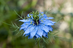 Nigella photo by James Cottrell 1