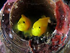 Yellow pygmy goby (Lubricogobius exiguus) photo by Randi Ang