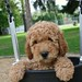 '$thumbnail.title}' by Sun Valley Labradoodles2011