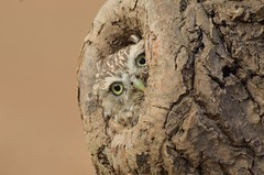 Little Owl photo by charlie.syme