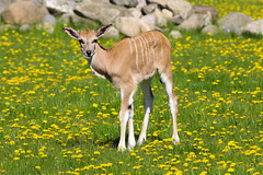 Young Eland photo by Infomastern