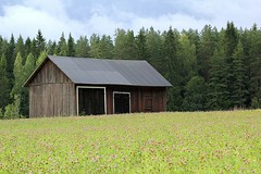 Old barn in a field of red clover photo by gallserud