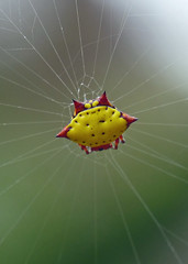 Yellow Spiny Orb-weaver (gasteracantha cancriformis) photo by celerycelery