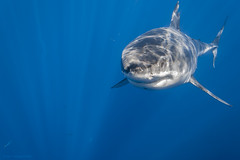 Great white shark straight ahead photo by George Probst