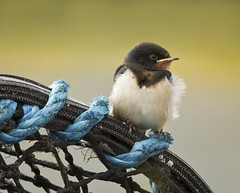 Young Swallow waiting patiently for food *EXPLORED - 29/08/2014* photo by Sarah Kellett