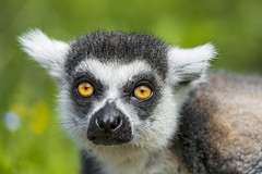 Nice lemur portrait photo by Tambako the Jaguar