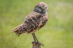 Burrowing Owl photo by Thelma Gatuzzo (weekend off)