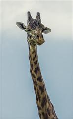 Giraffe photo by Rez J