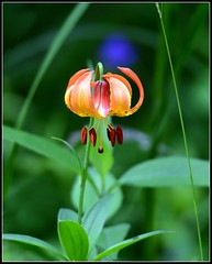 Turk's Cap Lily photo by MoodyGoat