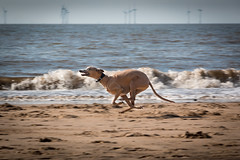 Beach Dog (Explored 07/10/14) photo by Camera Belly.
