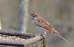 Female Reed Bunting photo by Dave Brotherton Photography