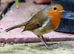 Robin 3 photo by maggie230