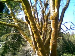 Tree Butano State Park.jpg