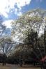 ハナモクレン Magnolia