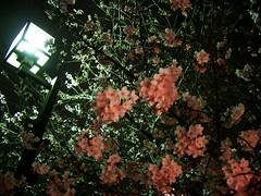 目黒川の桜 #2